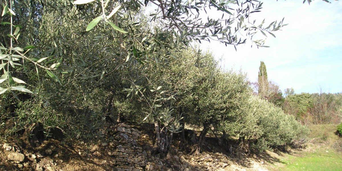 Oléiculture et agriculture biologique