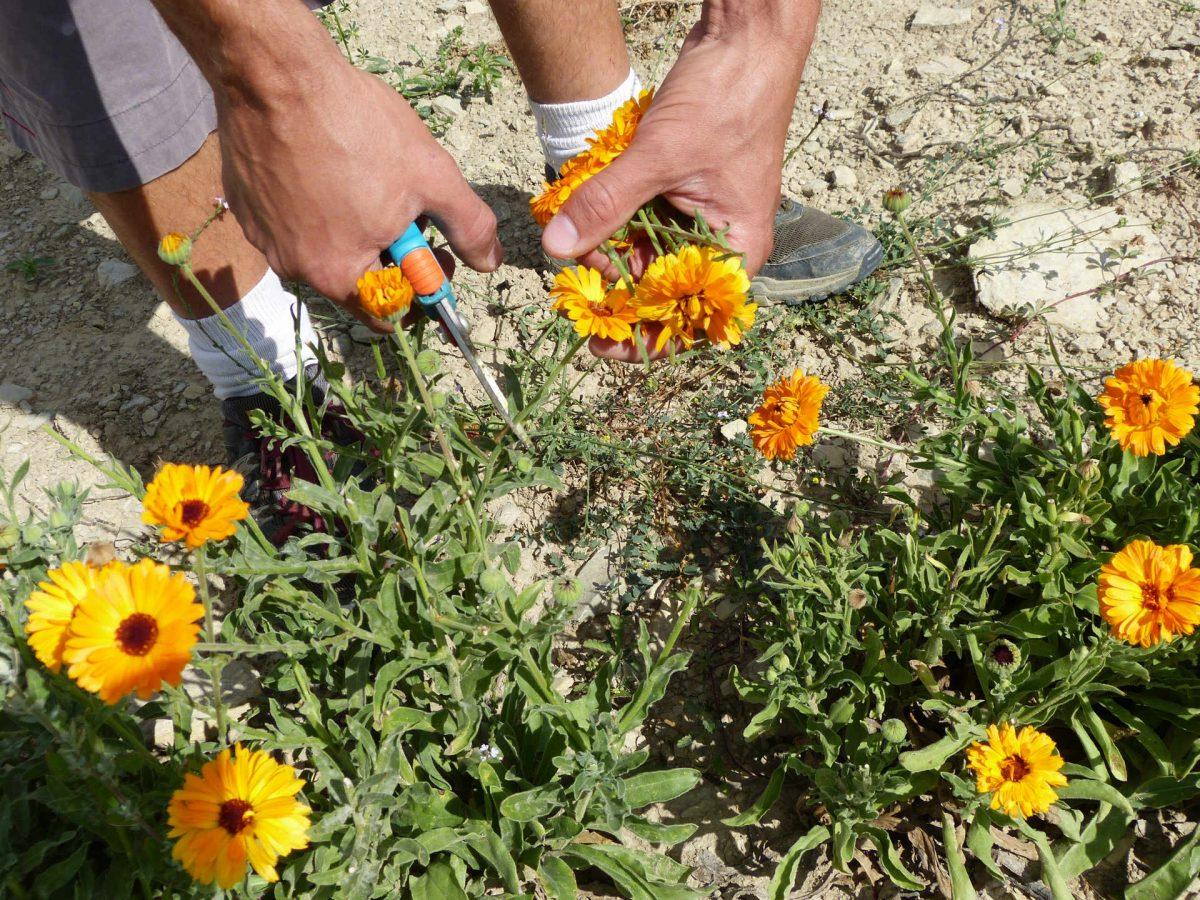 Plantes aromatiques et médicinales : La récolte.